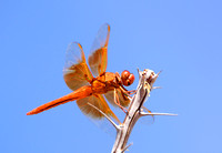Flame Skimmer Dragonfly