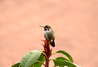 Male Costa Hummingbird