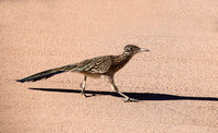 Great Roadrunner