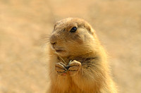 Arizona Black-tailed Prairie Dog (Captive)