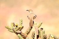 Cureve-billed Thrasher