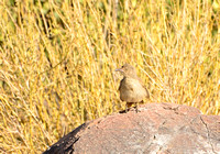 Juvenile Curve-billed Thrasher