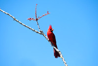 Northern Cardinal on Ocotillo
