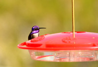 Male Costa's Hummingbird