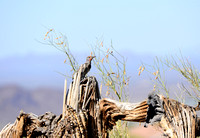 Adult Male Gilded Flicker in the Desert